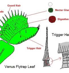 venus fly trap diagram venus flytrap blog wiring diagram venus fly trap diagram labeled the mysterious venus flytrap [ 1134 x 756 Pixel ]