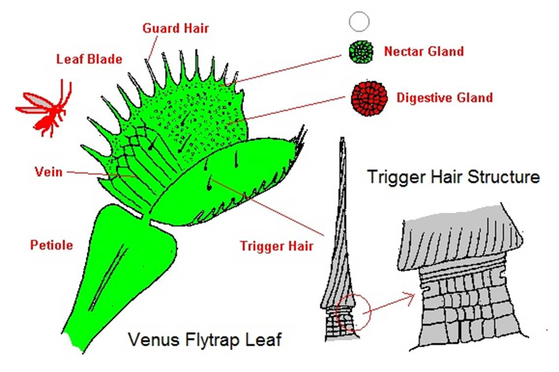 hight resolution of venus fly trap diagram venus flytrap blog wiring diagram venus fly trap diagram labeled the mysterious venus flytrap