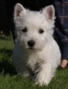 Antiallergische hondenras  HondenForum