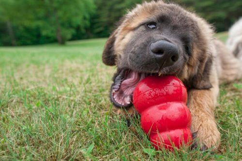 Leonberger puppy chewing on a red kong