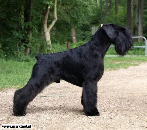 Basenji Australian Shepherd