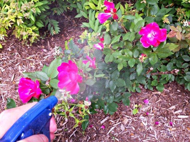 Spraying rose bushes with homemade nontoxic bug spray
