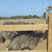 Ostriches at the Curacao farm