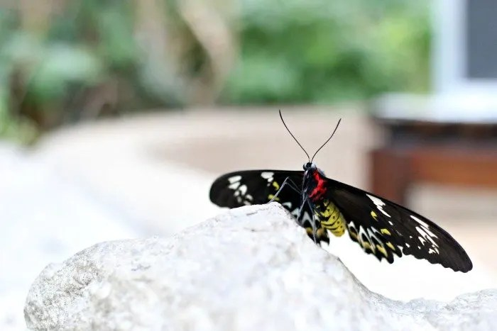 large butterfly sitting on a rock
