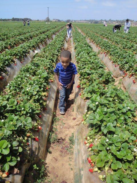 Kid San Diego strawberry picking