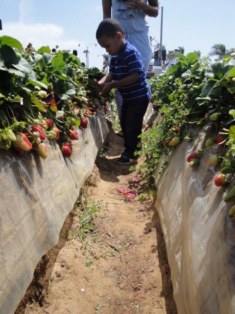 San Diego u-pick strawberry farm