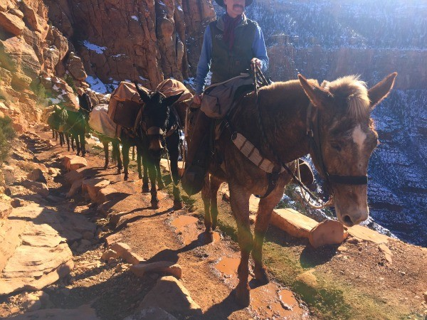 Grand Canyon Road Trip, mules hike up and down the canyon carrying supplies