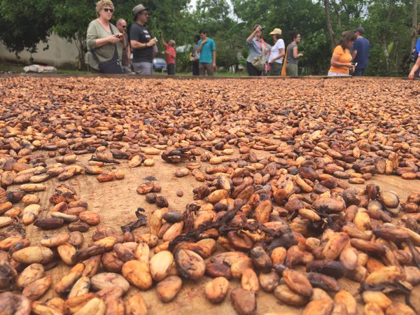 Fathom travel, cacao beans in the fermentation process, Chocal Dominican Republic