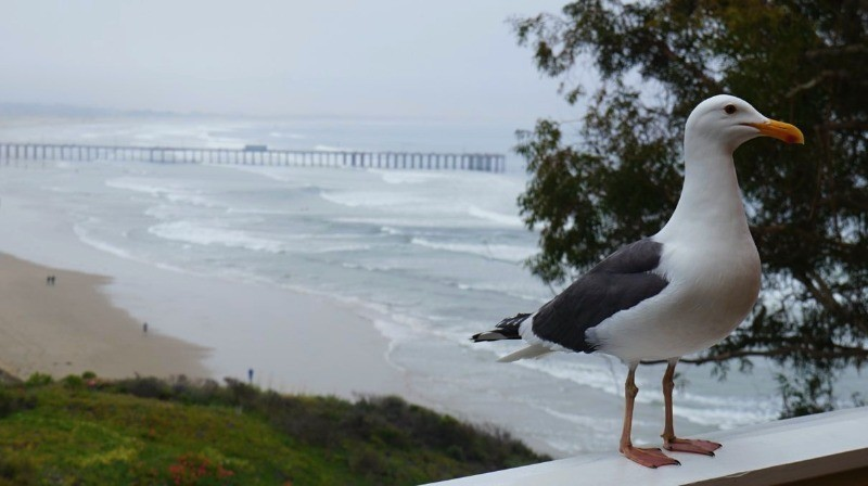 Seacrest Hotel In Pismo Beach - seagull visits our balcony on the 4th floor