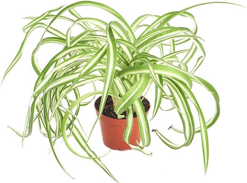 Curly spider plant indoor houseplants