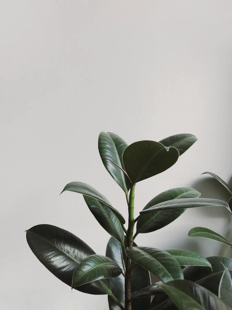 Ficus elastica rubber plant