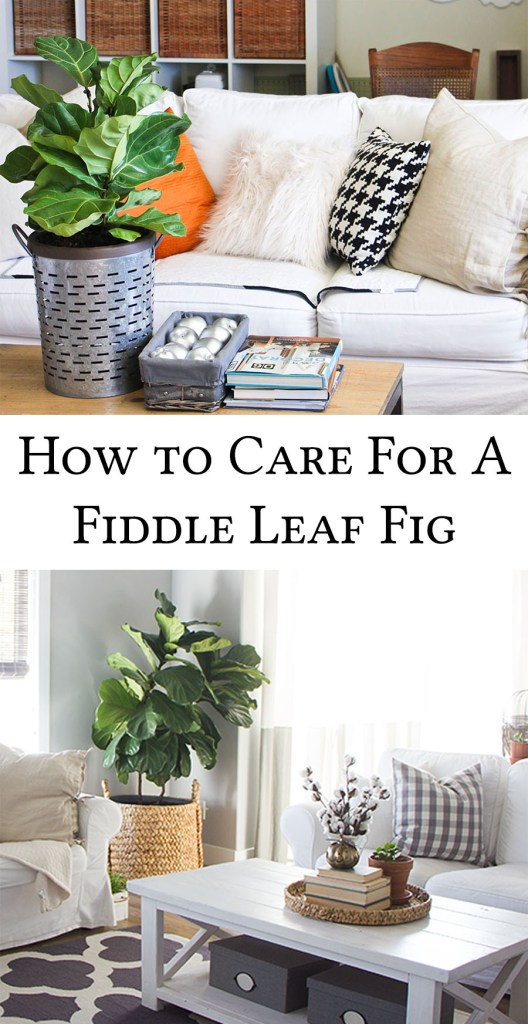 how-to-care-for-a-fiddle-leaf-fig