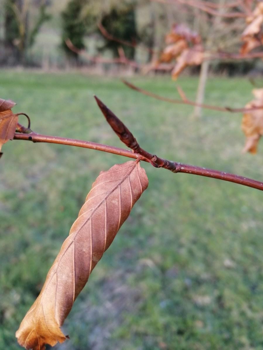 Beech tree bud identification