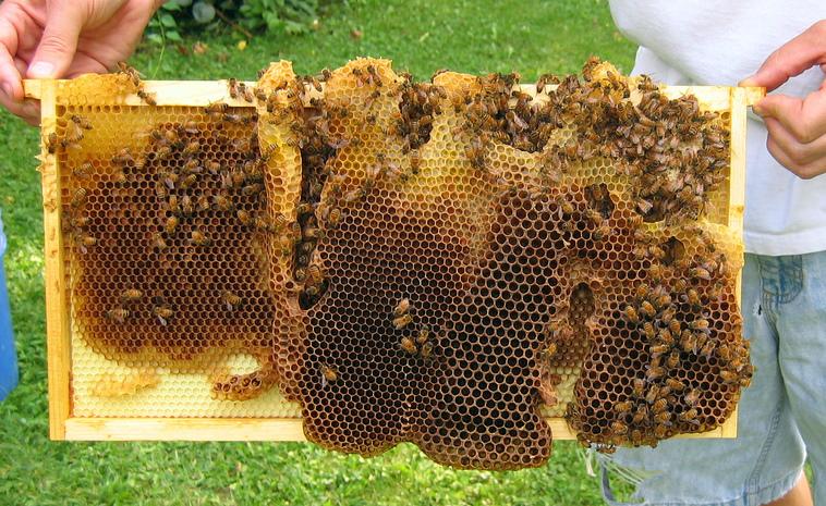 1 MEDIUM HONEY// BROOD SUPER with 9 drawn combs Longstroth Beehive Box