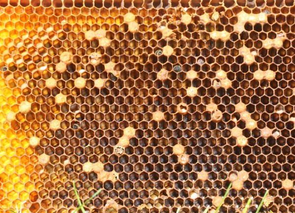 Scattered brood typical of laying workers. Photo by the author.