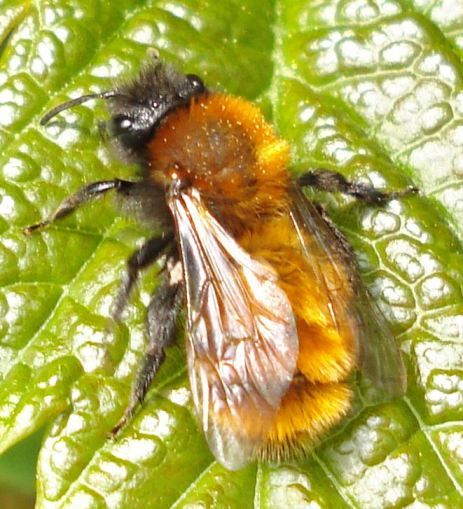 Mining bees are wild bees that live underground - Honey Bee Suite