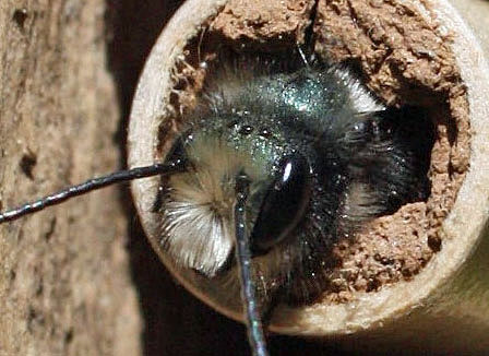 The ocelli look like three tiny dots on top of this mason bees head. Photo by the author.