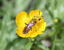 Another pollinator enjoys the buttercups.