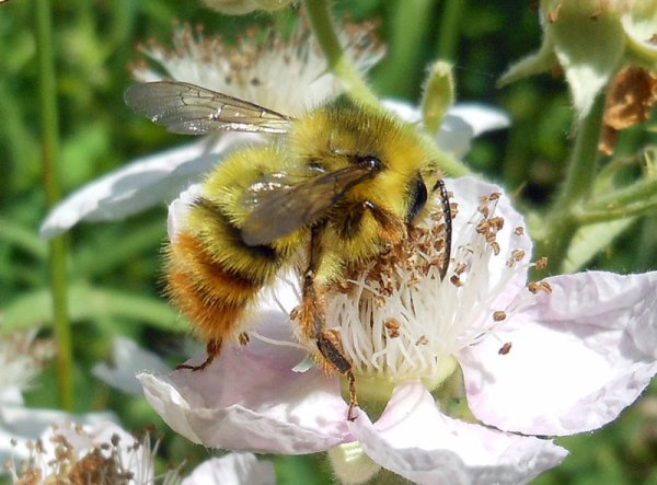 Even weeds attract pollinators. Here, a bumble bee nectars on a blackberry blossom.