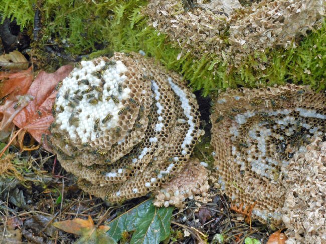 Circular layers of comb filled with brood