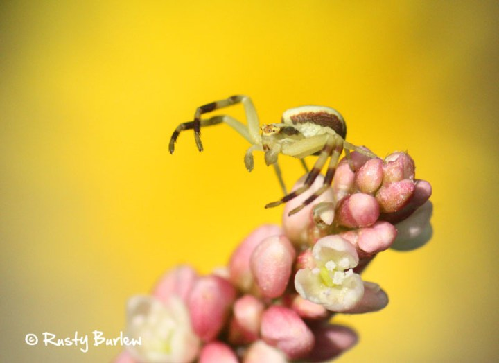 Spider backed by a dandelion