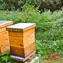 """Andy Brown di Rhode Island dice: """"Quando si tiene le api si paga un diverso tipo di attenzione alla sfilata stagionale delle piante da fiore.""""  Notate le astri gelo dietro le arnie."""
