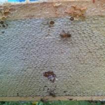 Un sacco di miele.  Foto da Gord Gibbings.