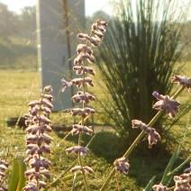 Salvia russa.  Herb Lester apiari, Tennessee.