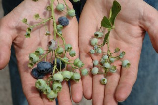 The blueberries on the right were netted to keep out pollinators.
