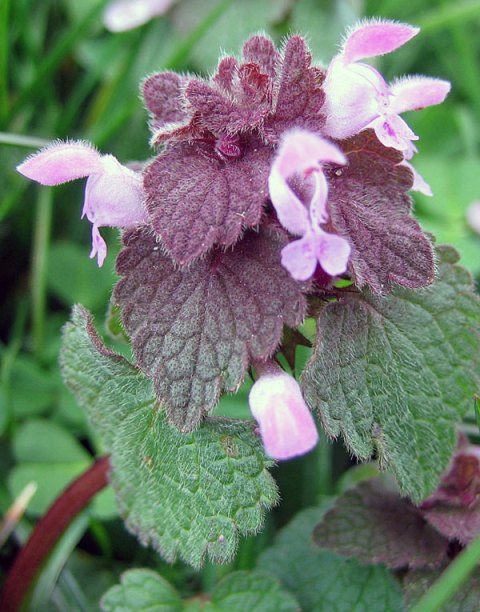 Red deadnettle. Photo by Phil Sellens.