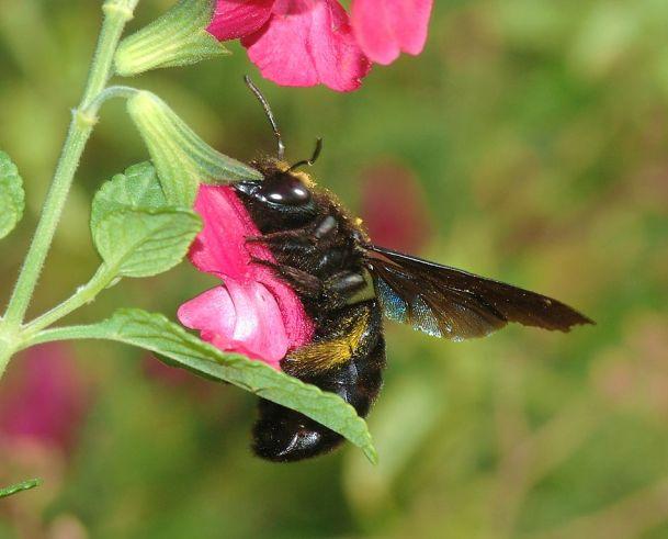 Nectar robbing