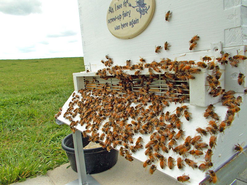 A swarm guard in place with bees examining the new hardward.
