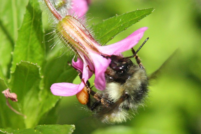 Bumble-bee-on-herb-robert