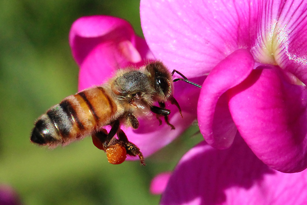Learning to fly is for the keepers. Photo of honey bee on everlasting pea.
