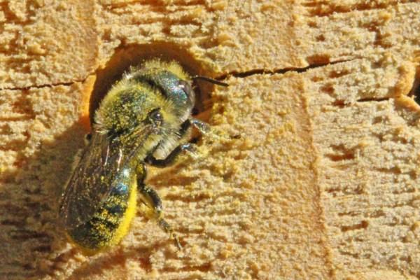 Osmia-on-nesting-block