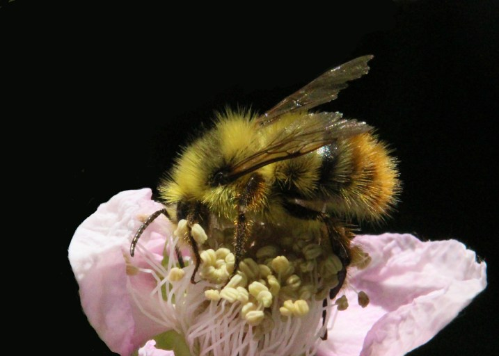 Bumble-with-worn-wings