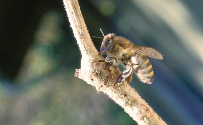 Honey-bee-on-elder-stem-2
