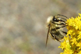 Bumble bee on goldenrod.