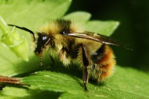 A bumble with tongue extended.