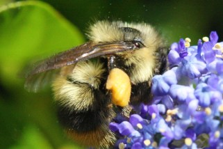 Bumbles can carry a lot of pollen in one load.