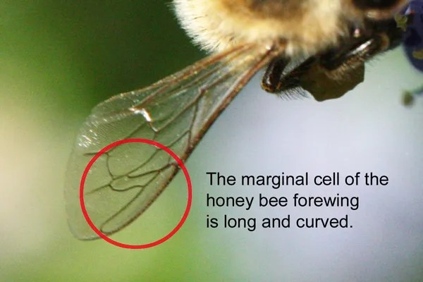 The marginal cell of the honey bee wing, formed by the wing veins, is long and sausage-shaped.