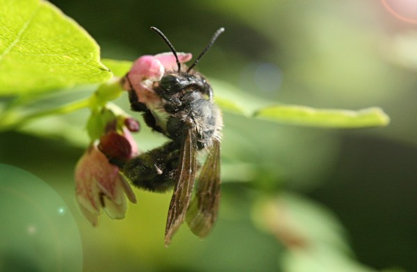 Bee-on-red-huckleberry