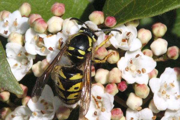 Yellowjacket in March