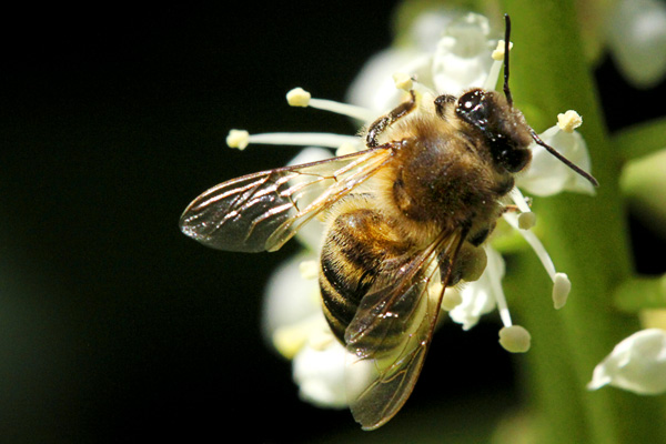 Honey-bee-on-prunus.width=