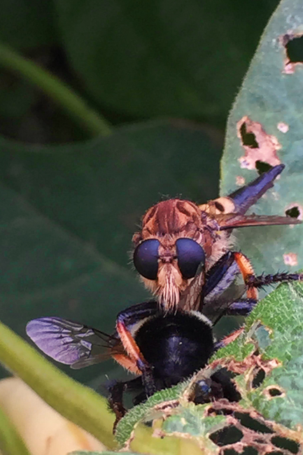 Mike-Smith-Robber-fly-650-px