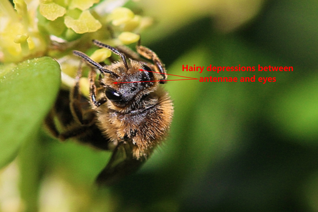 Andrena-hairy-facial-depressions