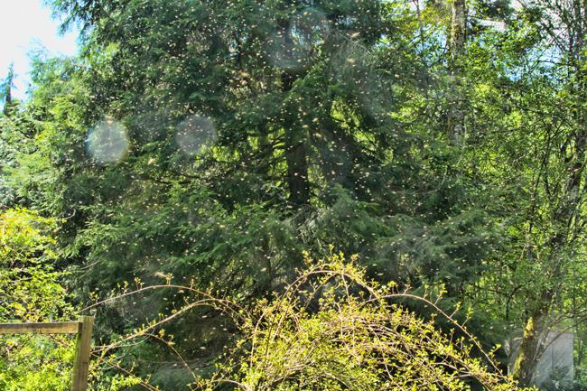 Swarm-above-kiwi-vine