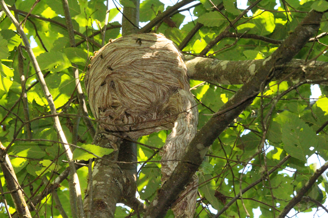 Aerial-yellowjacket nest with wasps aplenty