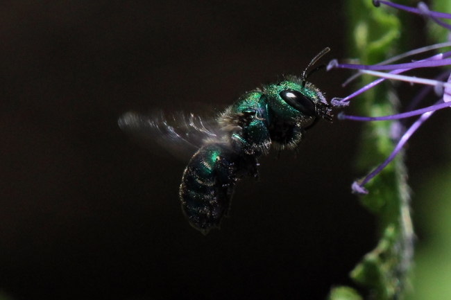 Osmia aglaia in air