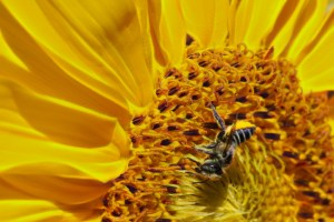Leafcutter-on-sunflower-Rusty-Burlew